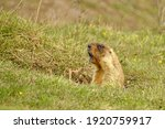 The Steppe Marmot Screams About ...