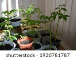 young tomato seedlings grow in... | Shutterstock . vector #1920781787