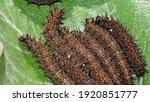 Gulf Fritillary Caterpillars On ...