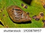 Striped Rabdotus Land Snail ...