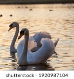 Couple Swan In Spring ...