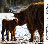 Highlander Cow With Newborn...
