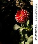 Dahlia Flower Closeup Lit With...