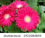 Hot Pink Gerbera Flowers  Macro ...