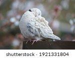 Eurasian Collared Dove Preening ...