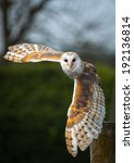 Barn Owl In The Country Side...
