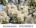 Lush Blooming Branches Of An...