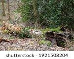 Fallen Woodland Tree Trunk...
