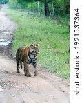 A Lone Tigress Walking In The...