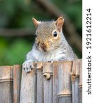 Squirrel Looking Over Fence...