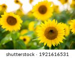 Beautiful Sunflowers On A...