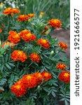 Marigolds In The Garden ...