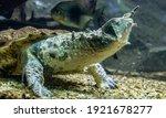 The Mata Mata Is A Freshwater...
