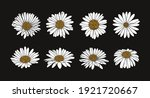 Collection Of Daisy Flower With ...