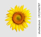 yellow blossomed sunflower ... | Shutterstock . vector #1921960787
