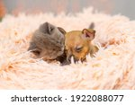 Toy Terrier Puppy And Fluffy...