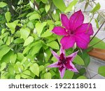 Flowers Of Perennial Clematis...