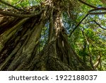 Kapok And Other Trees In A...