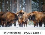 European bison, Bison bonasus. Herd of bisons standing with heads to each other in the snow of freezing winter forest. Bison family in its forest environment. Winter, Ralsko forest, Czech republic.