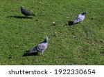 Three Pigeons In The Field