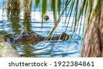 American Florida Alligator Near ...