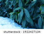 rhododendron flower buds...   Shutterstock . vector #1922427134