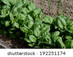 Fresh Spinach  Growing In Garden