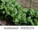 Fresh Spinach  Growing In Garden