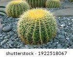 Echinocactus Grusonii Or Golden ...