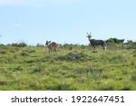 Male And Female Nyala Standing...