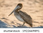 Brown Pelican On The Beach ...