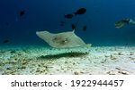 Small photo of The stingray is patrolling its hunting territory. Graceful swimming of a stingray. Diving with stingrays.