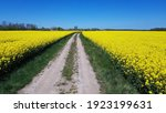 Endless Rapeseed Fields Bloomed ...