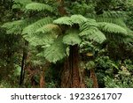 Tree Ferns Are Found Growing In ...