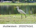 Little Egret In The Garden.