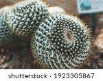 Golden Barrel Cactus In Queen...