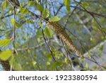 Foto Of Birch Tree Branches...