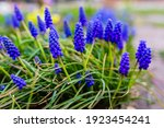 Blue Muscari Flowers Close Up....