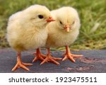 Little Yellow Cute Baby Chicks.