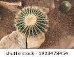 Big Golden Barrel Cactus Queen...