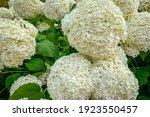 White Hydrangea Annabelle ...