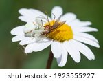 Crab Spider Devouring An Insect