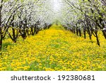 Beautiful Orchard With Yelow...