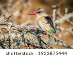 Brown Hooded Kingfisher Sitting ...