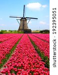 Rows Of Pink Tulips With Dutch...