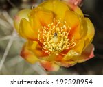 Closeup Of Wild Prickly Pear...