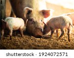 Small photo of A female pig with her piglets on a remote cattle station in Northern Territory, Australia, at sunrise.