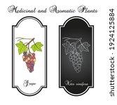 grape  vitis vinifera  branch...   Shutterstock .eps vector #1924125884