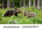 Pair Of Brown Bear  Ursus...