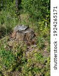 A Lonely Old Tree Stump In A...